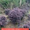 红花继木球篱笆苗  庭院绿化苗苗木工程
