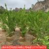 红花石榴喜庆吉祥花 庭院阳台爱绿植