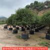 红叶石楠绿化苗木 四季常青  庭院花园美化树木