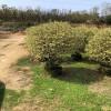 银基小蜡彩叶常绿灌木  庭院花园植物