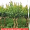 紫薇四季绿化 庭院室外花卉  植物苗木风景树苗