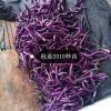 锡林浩特嫁接线茄种苗 紫红茄子苗批发
