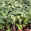巴彦淖尔嫁接线茄种苗 紫红茄子苗批发